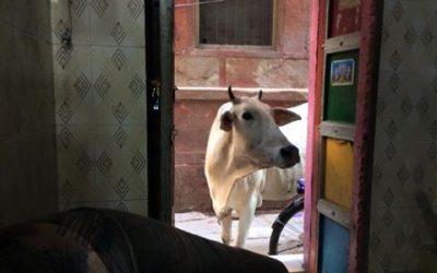 Aztán benézett egy tehén